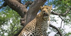 Leopard in the Serengeti